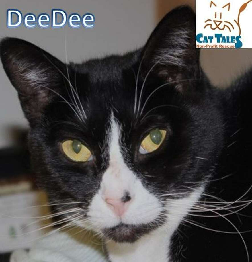 DeeDee is still waiting at Cat Tales for a home of her own. Photo: Contributed Photo