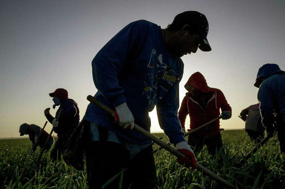 Farmworkers remove weeds in an onion field in Exeter, in the Central Valley region of California in 2014. Unskilled labor? You try harvesting sensitive crops with machine-like precision. Photo: MATT BLACK /NYT / NYTNS