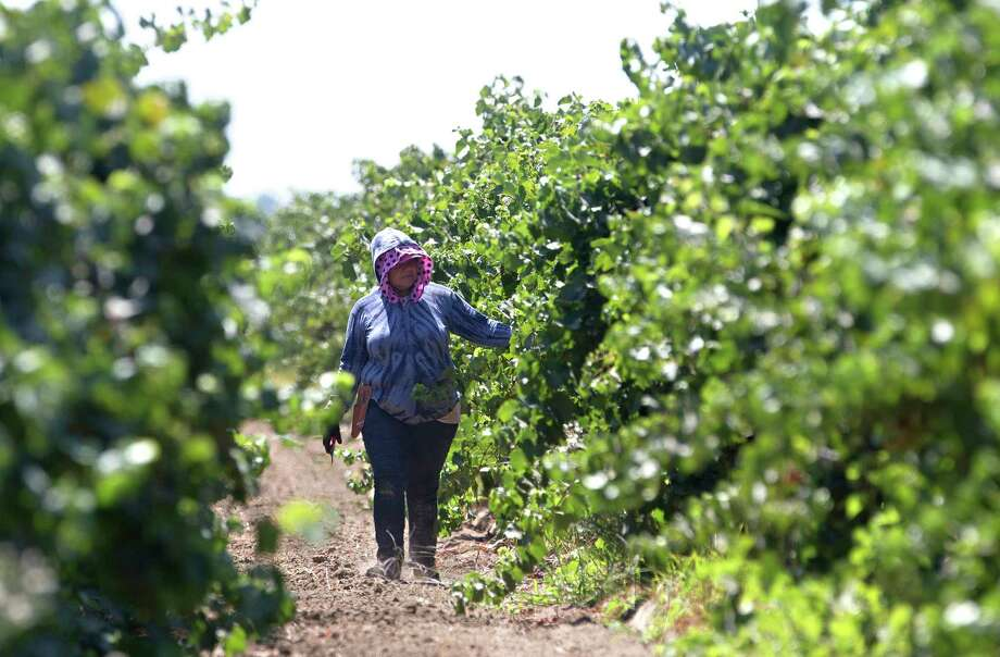 File - In this Aug. 17, 2016, file photo, a farm worker trims grape vines in a vineyard in Clarksburg, Calif. In a unanimous ruling Monday, Nov. 27, 2017, the high court in California upheld a law that aims to get labor contracts for farmworkers whose unions and employers do not agree on wages and other working conditions. (AP Photo/Rich Pedroncelli, File) Photo: Rich Pedroncelli, STF / Copyright 2017 The Associated Press. All rights reserved.