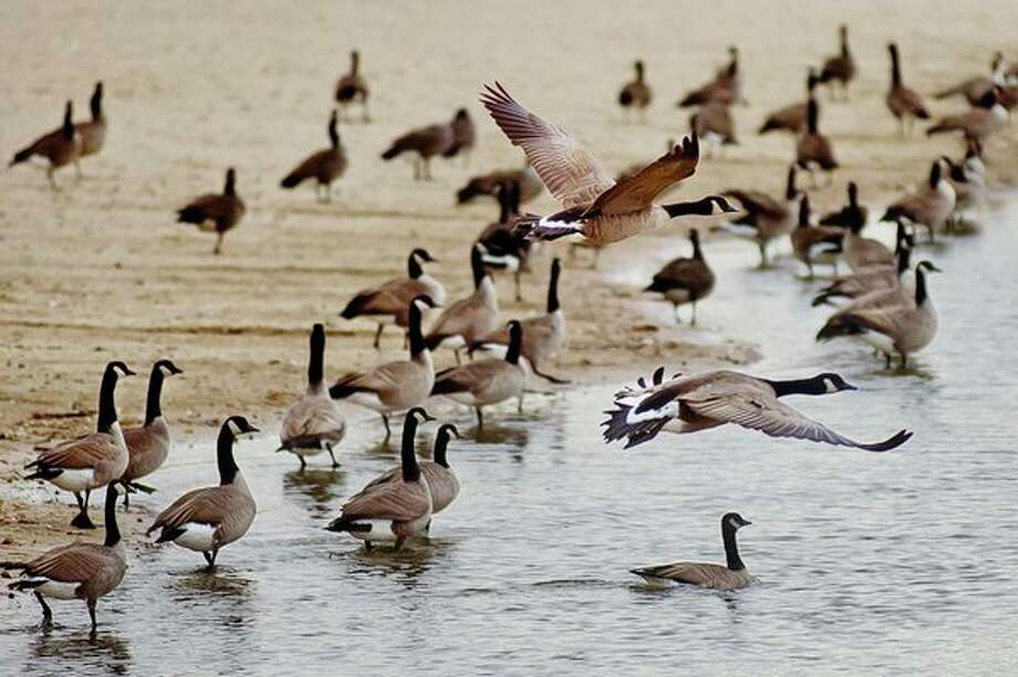 A large gaggle of Canada geese occupy Kiwassee Lake on Monday at Stratford Woods Park. (Katy Kildee/kkildee@mdn.net)