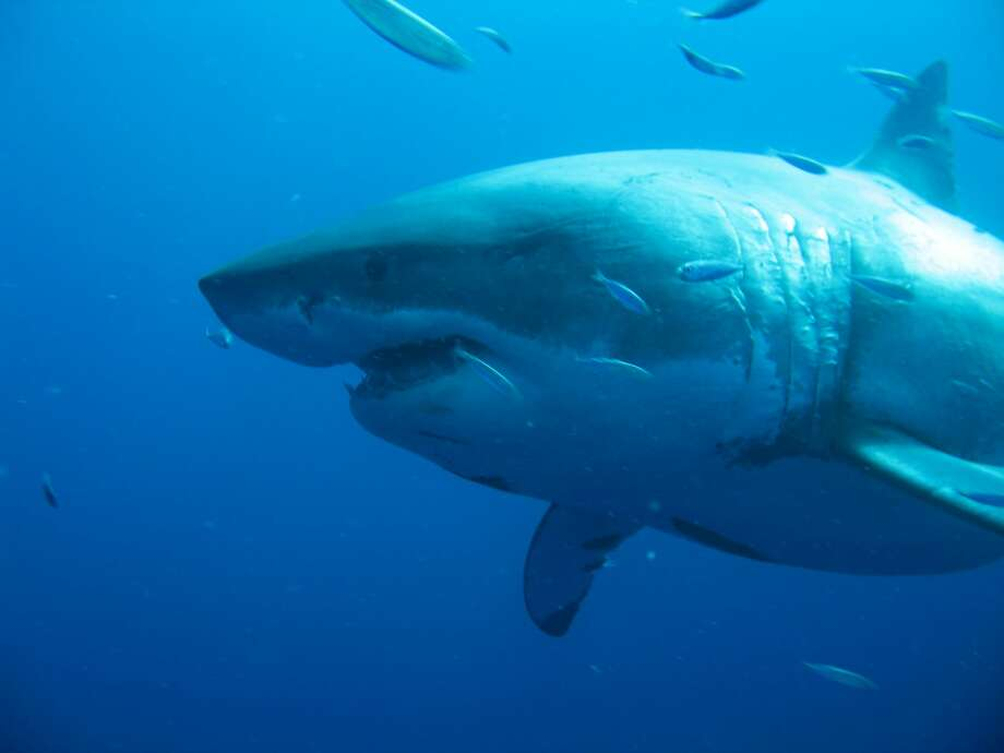 A shot of Deep Blue, which experts believe to be the world's biggest great white shark, on November 2013 in Guadalupe Island, Mexico.  U Photo: Barcroft Media/Barcroft Media Via Getty Images