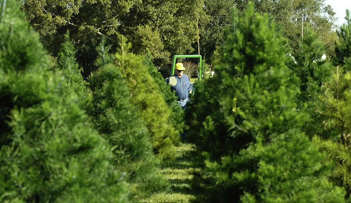 Don Kachtik, owner of K&K Tree Farm outside of Orange, the crop of Virginia pines he grows are as good as they ever were despite the drought conditions the state experienced this year. Dave Ryan/The Enterprise