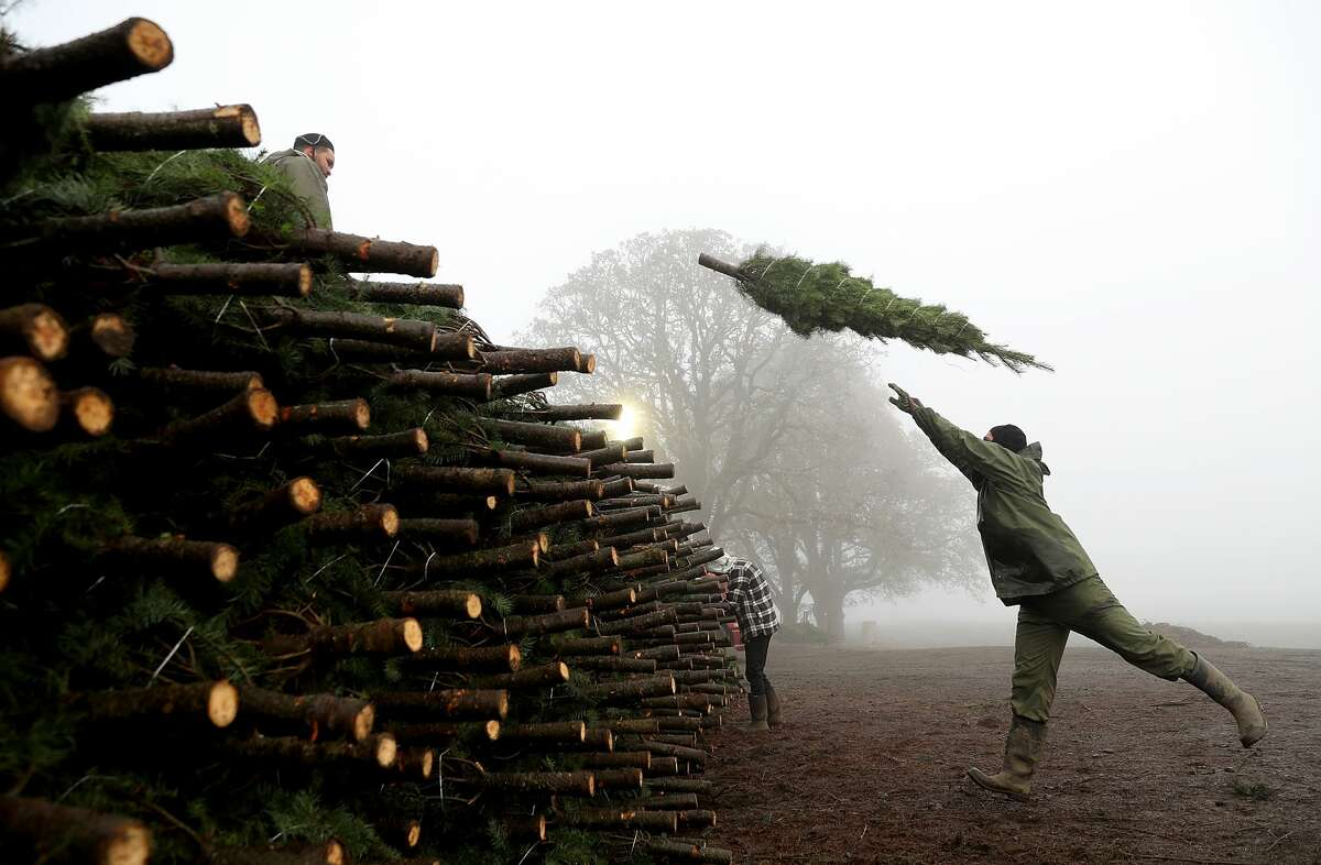 A worker at Holiday Tree Farms throws a freshly harvested Christmas tree onto a pile of trees that are ready to be shipped at the Beaver Creek shipping yard on November 18, 2017 in Philomath, Oregon. The Christmas tree harvest is underway at Holiday Tree Farms, the biggest grower of holiday trees in the United States, as workers harvest and ship an estimated one million trees ahead of the Christmas holiday.