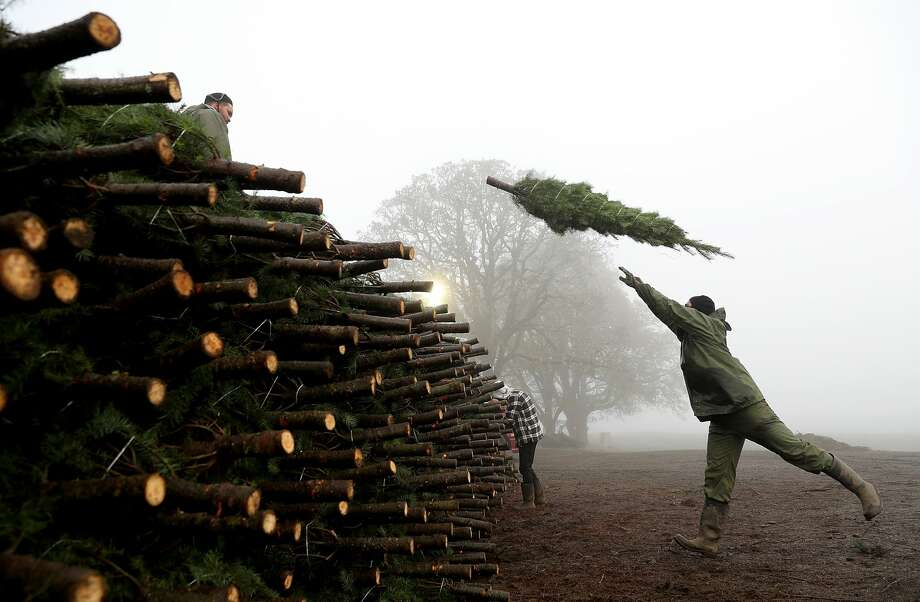 A worker at Holiday Tree Farms throws a freshly harvested Christmas tree onto a pile of trees that are ready to be shipped at the Beaver Creek shipping yard on November 18, 2017 in Philomath, Oregon. The Christmas tree harvest is underway at Holiday Tree Farms, the biggest grower of holiday trees in the United States, as workers harvest and ship an estimated one million trees ahead of the Christmas holiday. Photo: Justin Sullivan/Getty Images