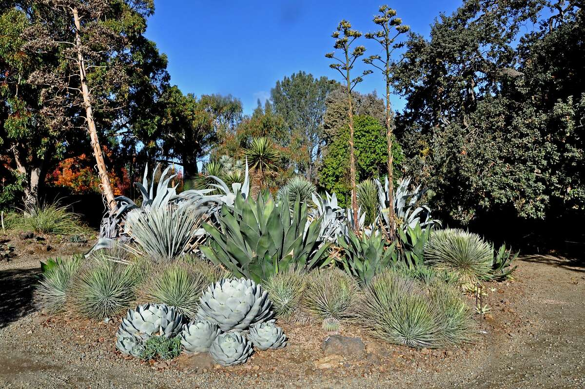 Silvery Agave parryi (front) with other agaves and yuccas at the Ruth Bancroft Garden.