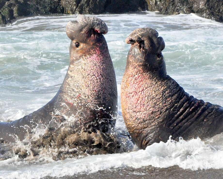 At Ano Nuevo State Park, two big bull elephant seal rise up to fight for a harem and right to mate -- they slam their teeth into the others' necks; you can see the blood on the mouth of the bull on the left Photo: John Kesselring