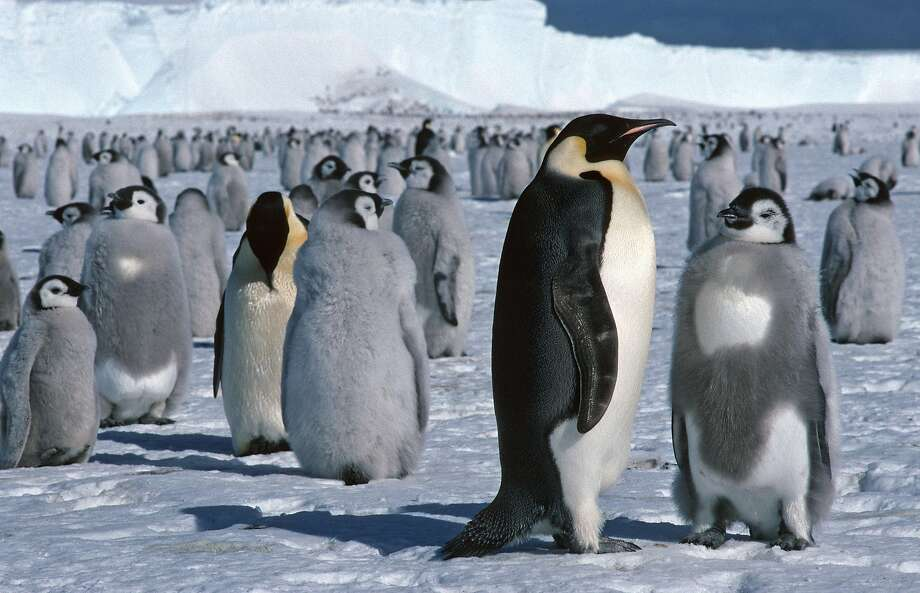 Emperor penguins and chicks near a research center at Halley Bay, Antartica. These penguins, among the largest in the world, are hard to track during Antarctica's harsh winters. Scientists now can track them by using satellites to look for their guano stains on the otherwise white ice.  Photo: British Antarctic Survey, AP