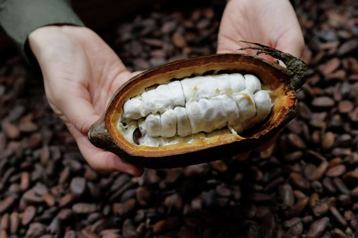 A picture taken October 31, 2017 shows cocoa beans in a fresh cocoa pod, displayed during the 23rd Paris Chocolate Fair (Salon du Chocolat). With