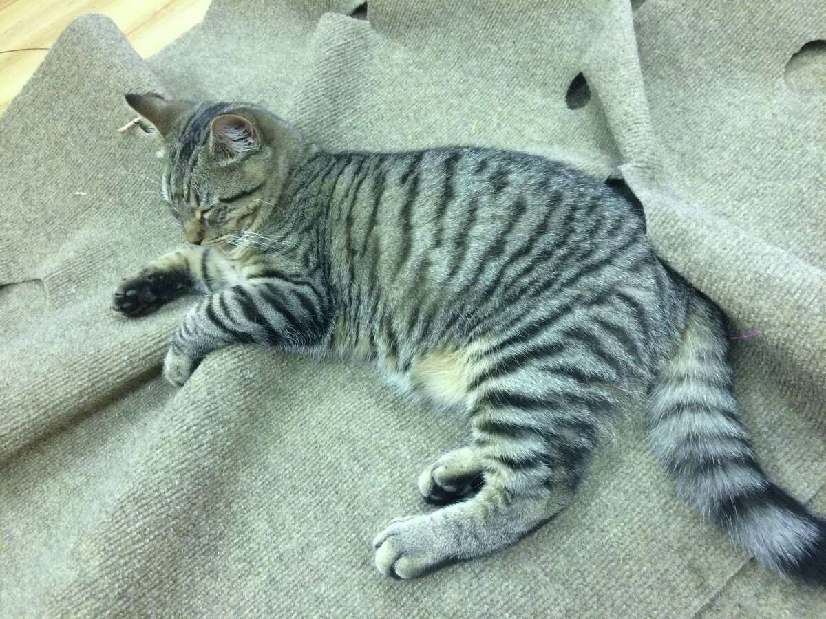 Cats play, lounge and entertain visitors at the Mew Haven Cat Cafe.