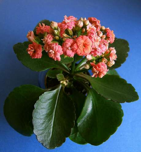 Christmas Kalanchoe.   Photo: Earl Nickel Photo: Earl Nickel