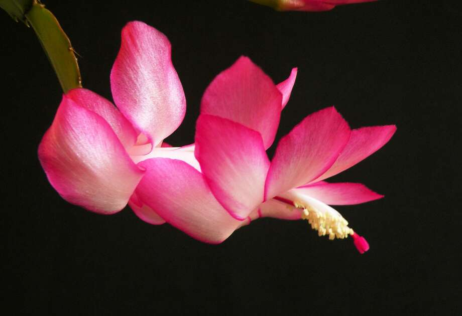 Christmas cactus.  Photo: WikiCommons