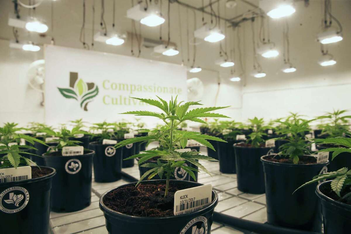 New plants are shown as the current crop as Compasionate Cultivation opens its doors to show off its brand new facility south of Austin on November 28, 2017