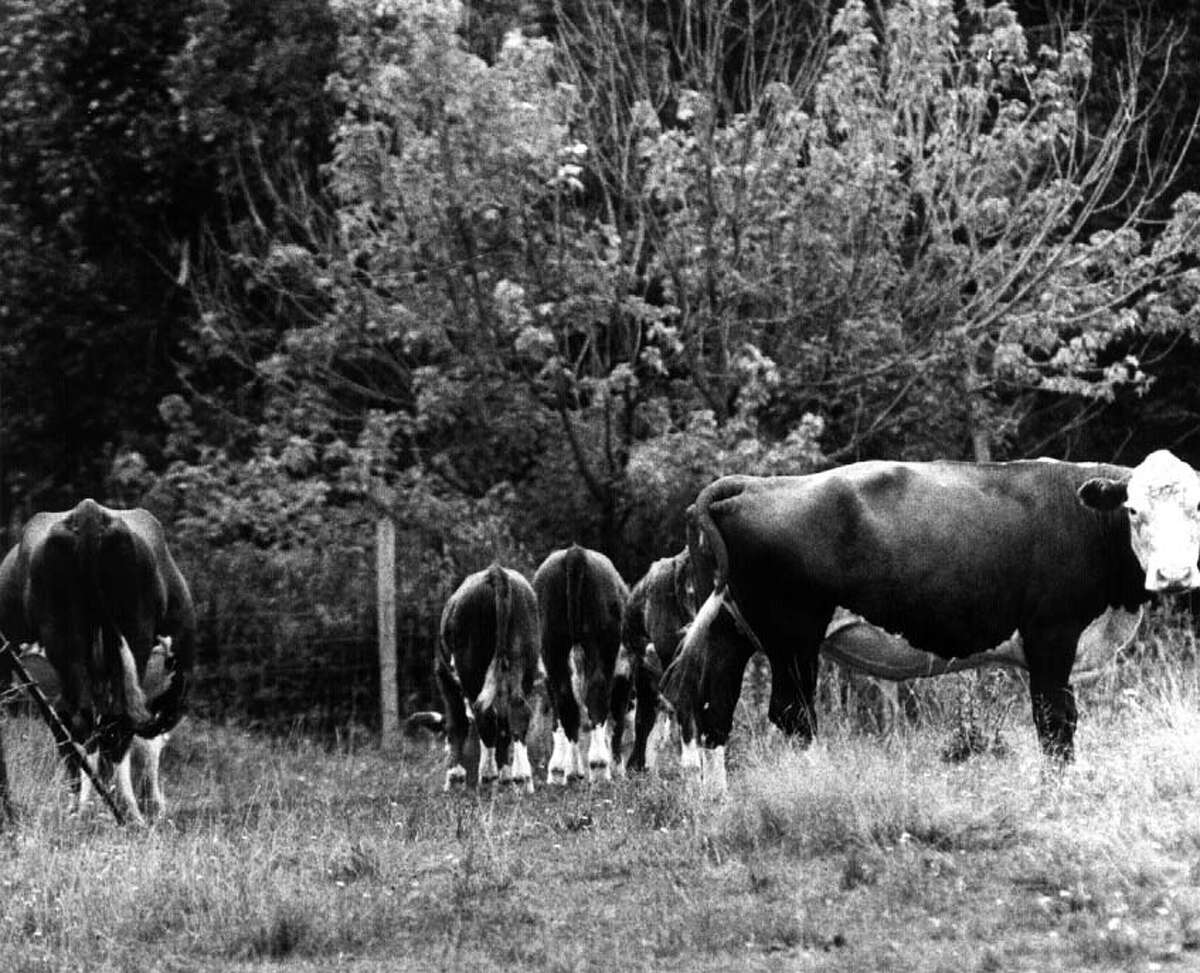 Browse through the images to see how Niskayuna has changed through the years. Cows grazing in a field on Bard's Farm, Rosendale Road, Niskayuna 8/21/91