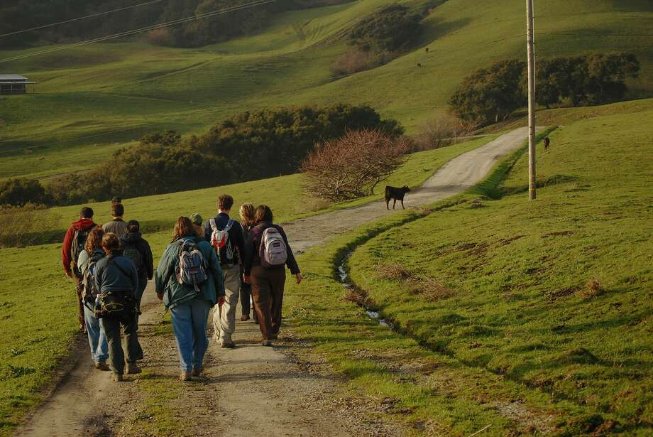 Hikers pass by Cattle on the new Harrington Creek Trail at La Honda Creek Open Space in San Mateo. Photo: Cindy Roessler, Midpeninsula Regional Open Space District