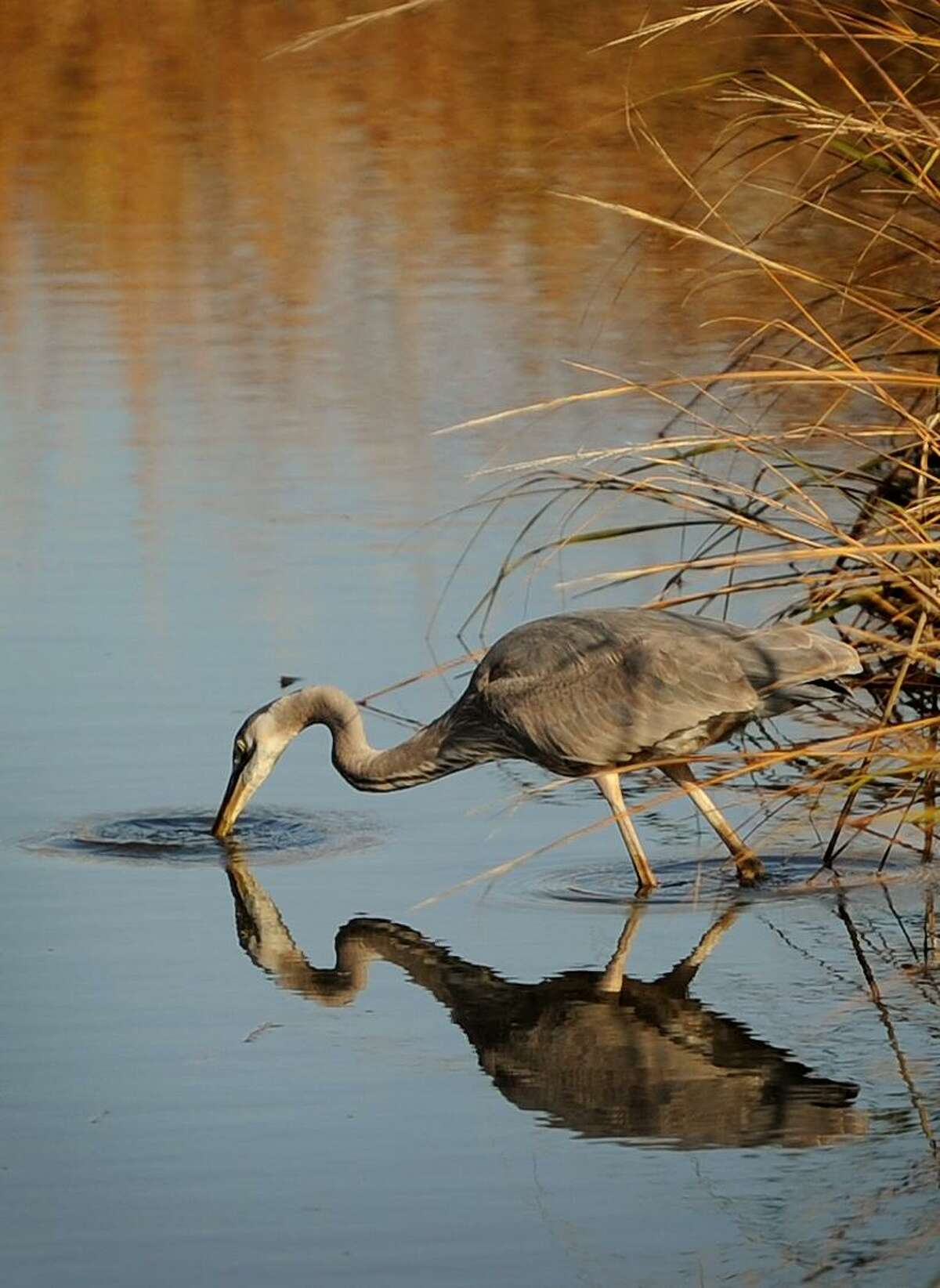 A Great Blue Heron feeds on small fish at Silver Sands State Park in Milford, Conn. on Wednesday, November 29, 2017.