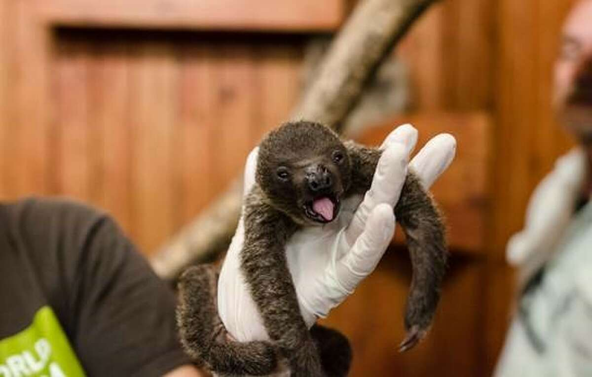 A two-toed sloth was born at the Animal World & Snake Farm Zoo on Nov. 17, 2017.