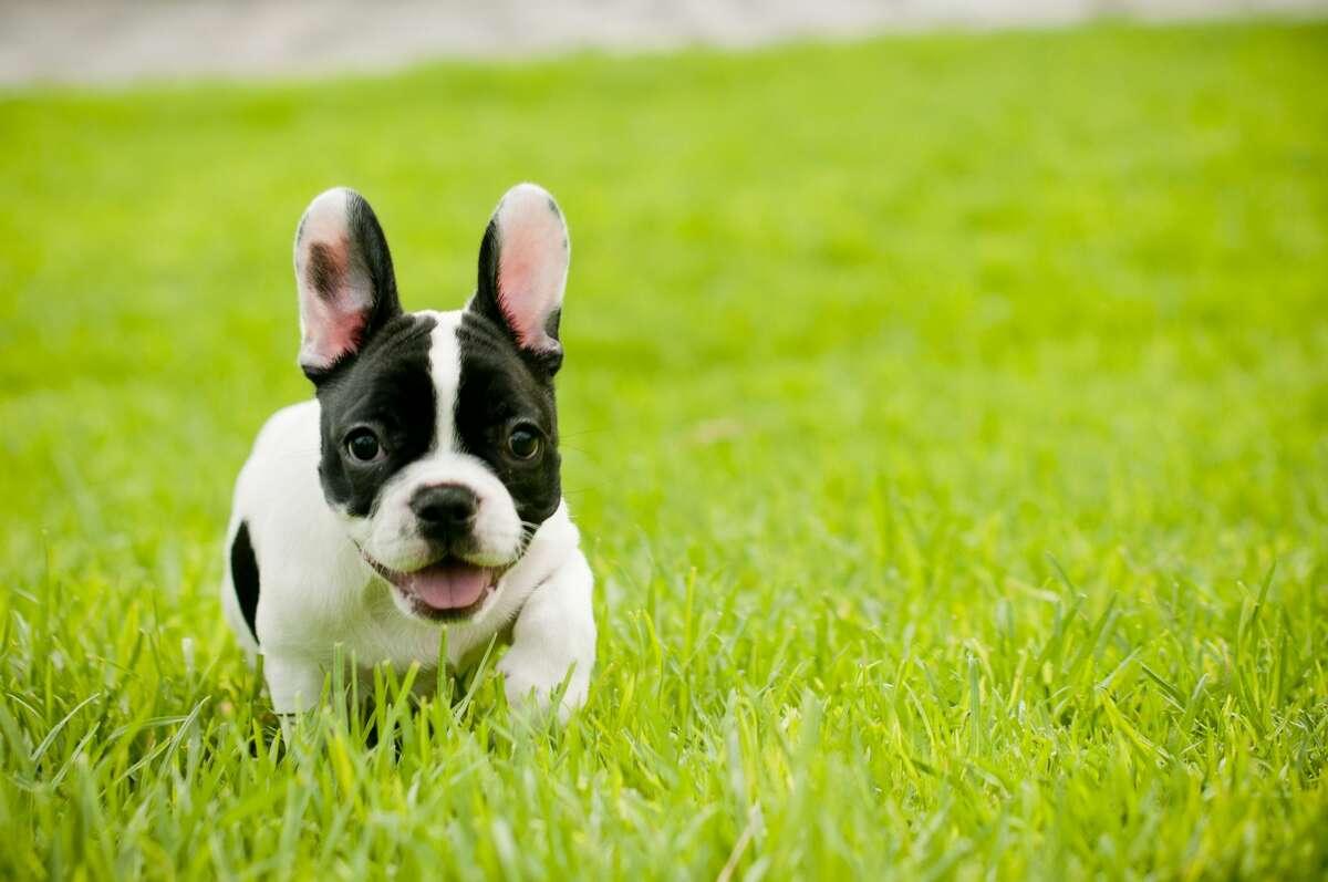 25. French bulldog: 430