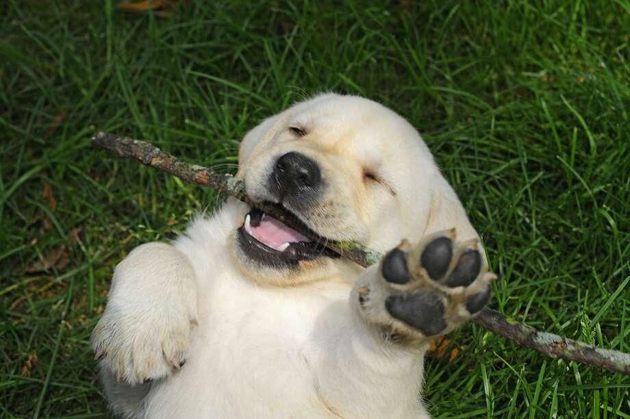 Labrador retriever Photo: Joelle Sedlmeyer/Getty Images