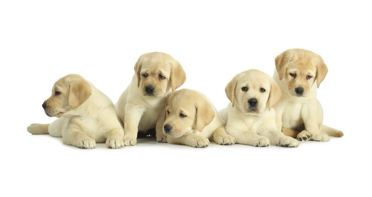 Labrador retrievers, like the ones seen above, may be the country's top dogs when it comes to American Kennel Club registrations, but a recent analysis by online furniture retailer Joybird shows they are not the most popular when it comes to Google search data. So which breeds were the most searched in each of the country's 50 states? Keep clicking to find out...