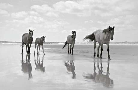 "Darien-based photographer Anouk Masson Krantz captured the beauty of the wild horses of Cumberland Island in her new book, ""Wild Horses of Cumberland Island"" (Images Publishing). Photo: Anouk Krantz / Contributed Photo / Anouk Krantz"