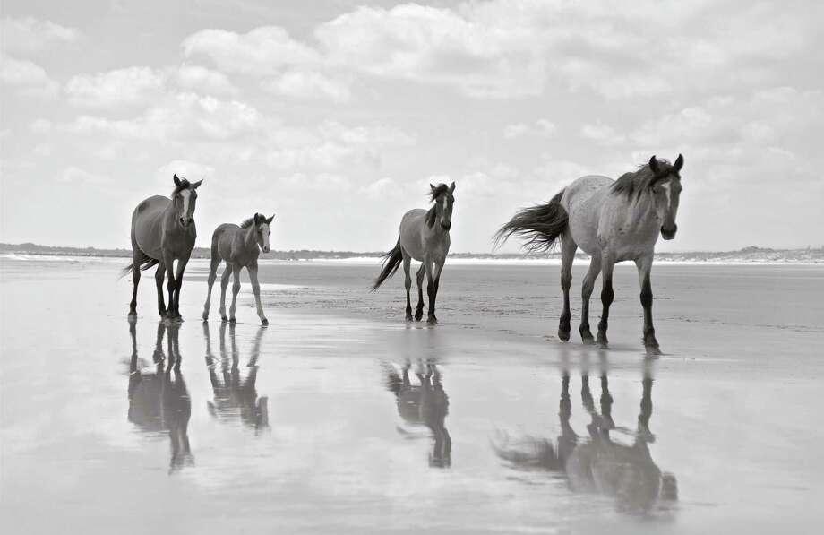 "Darien-based photographer Anouk Masson Krantz captured the beauty of the wild horses of Cumberland Island in her new book, ""Wild Horses of Cumberland Island"" (Images Publishing). Photo: Anouk Krantz / Contributed Photo / Anouk Krantz"