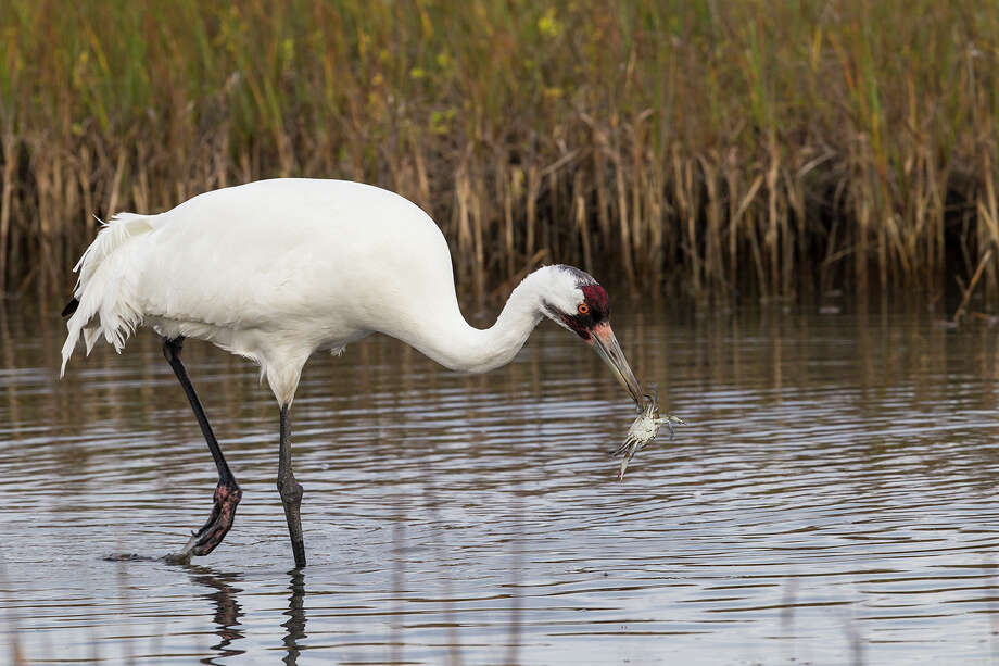 Whooping cranes feed on blue crabs in the brackish marshes around the Aransas National Wildlife Refuge.  Photo Credit:  Kathy Adams Clark.  Restricted use. Photo: Kathy Adams Clark / Kathy Adams Clark/KAC Productions
