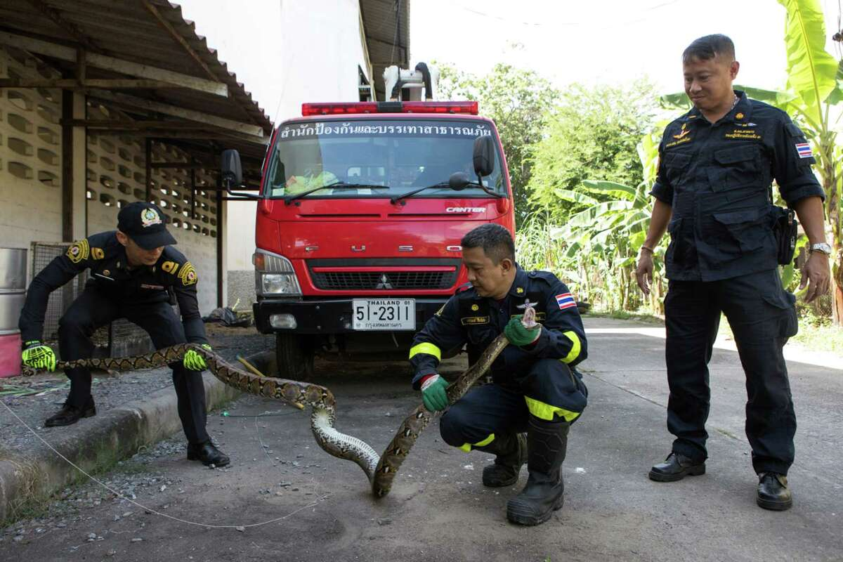 Firefighters restrain a rescued python at a fire station in Bangkok on Nov. 23, 2017. As the sprawling city of more than 8.2 million people continues to expand into formerly wild lands, the number of snake encounters is rising. (Amanda Mustard/The New York Times) ORG XMIT: XNYT8