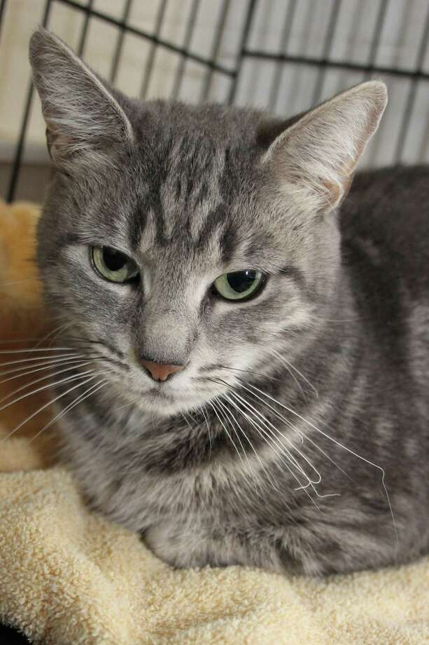 Poochie is a sweet kitty who's waiting for a new home. Photo: Contributed Photo