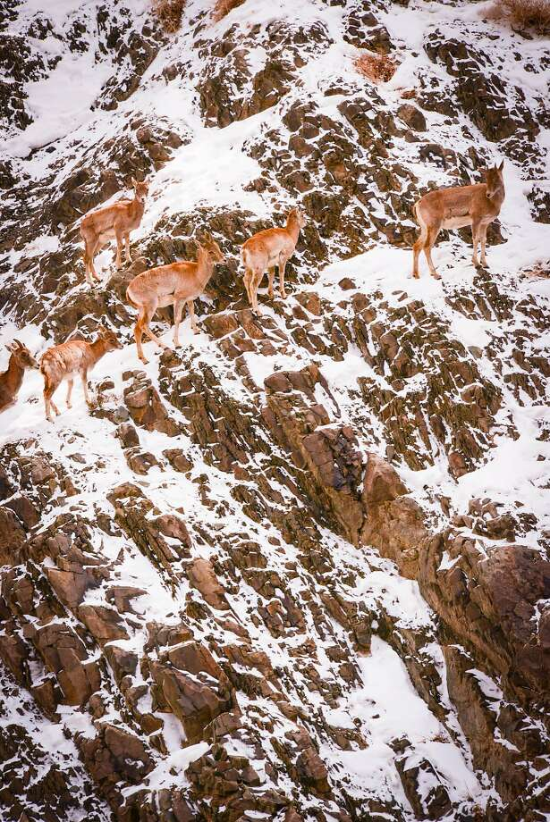 Wild sheep in Ladakh, from bharal to urial to ibex, have to contend with steep slopes in escaping snow leopards. Photo: Jill K. Robinson, Special To The Chronicle