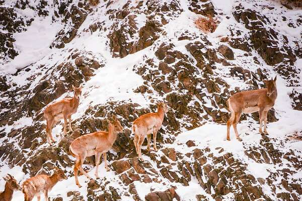 Wild sheep in Ladakh, from bharal to urial to ibex, have to contend with steep slopes in escaping snow leopards.