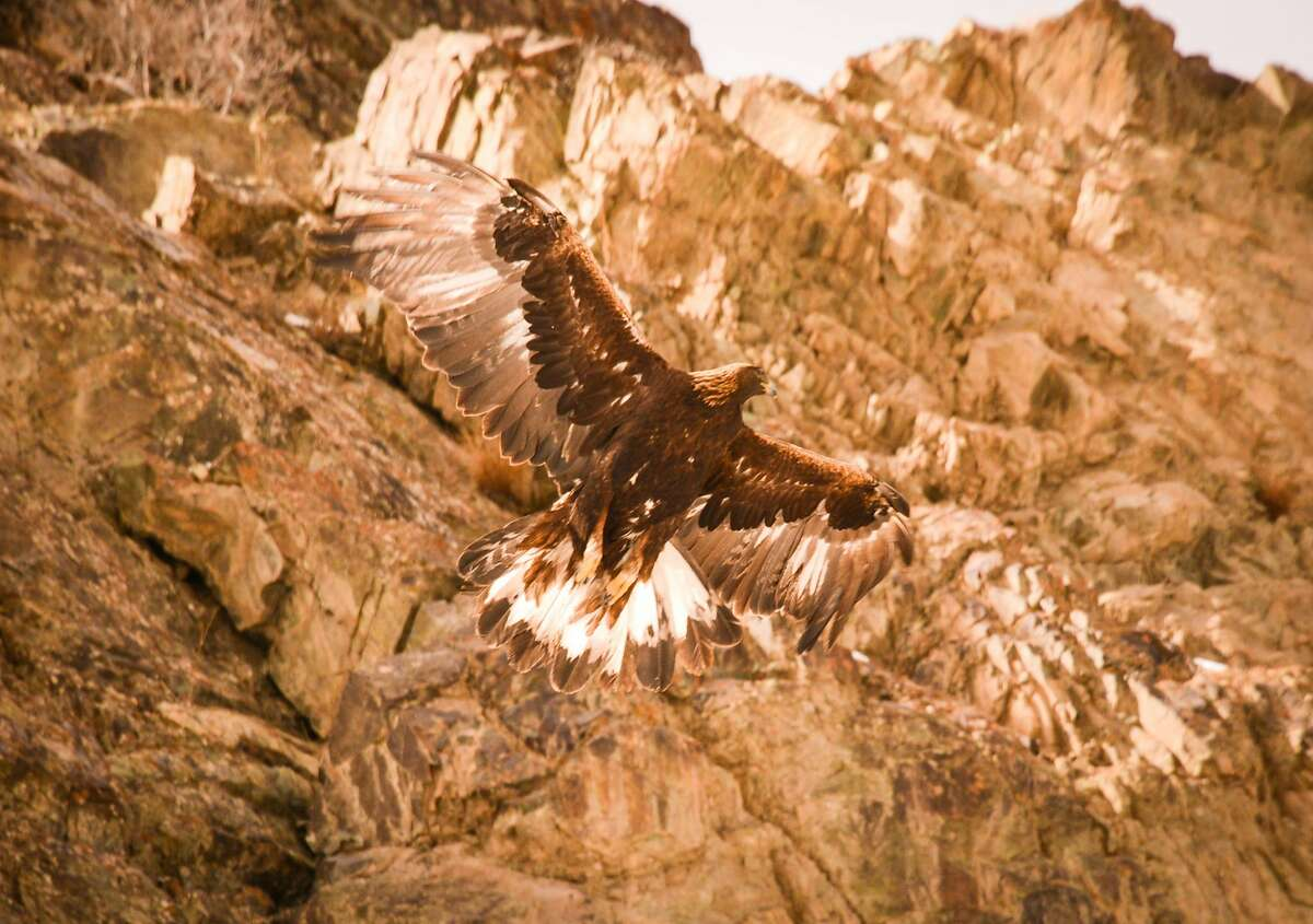 The golden eagle and lammergeier are two of the largest raptors in Ladakh.
