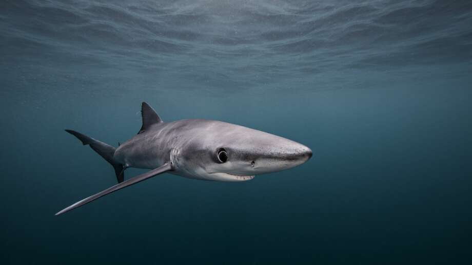 Shark in San Diego Photo: Ken Kiefer 2/Getty Images/Cultura RF
