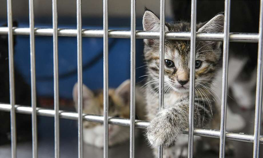 In this file photo, pets up for adoption at the Laredo Animal Care Facility react to the presence of people during a tour of the facility. Photo: Danny Zaragoza/Laredo Morning Times