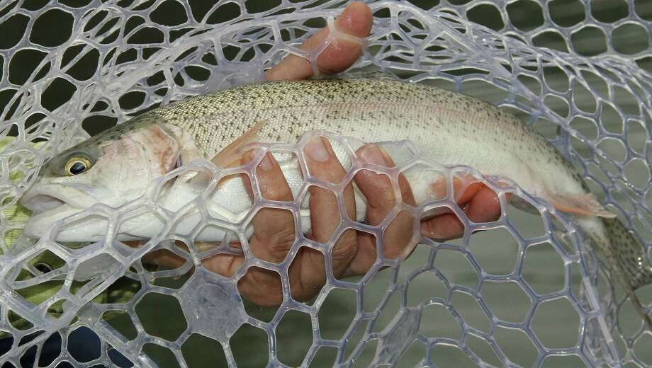 Texas' annual winter stocking of more than 300,000 rainbow trout into 150 public waters, most of them urbanparkponds, kicks into high gear this month. The put-and-take fishery is hugely popular with the state's anglers. Photo: Shannon Tompkins