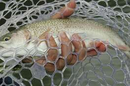 Texas' annual winter stocking of more than 300,000 rainbow trout into 150 public waters, most of them urbanparkponds, kicks into high gear this month. The put-and-take fishery is hugely popular with the state's anglers.