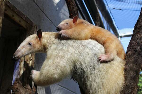 Mom and baby tamanduas