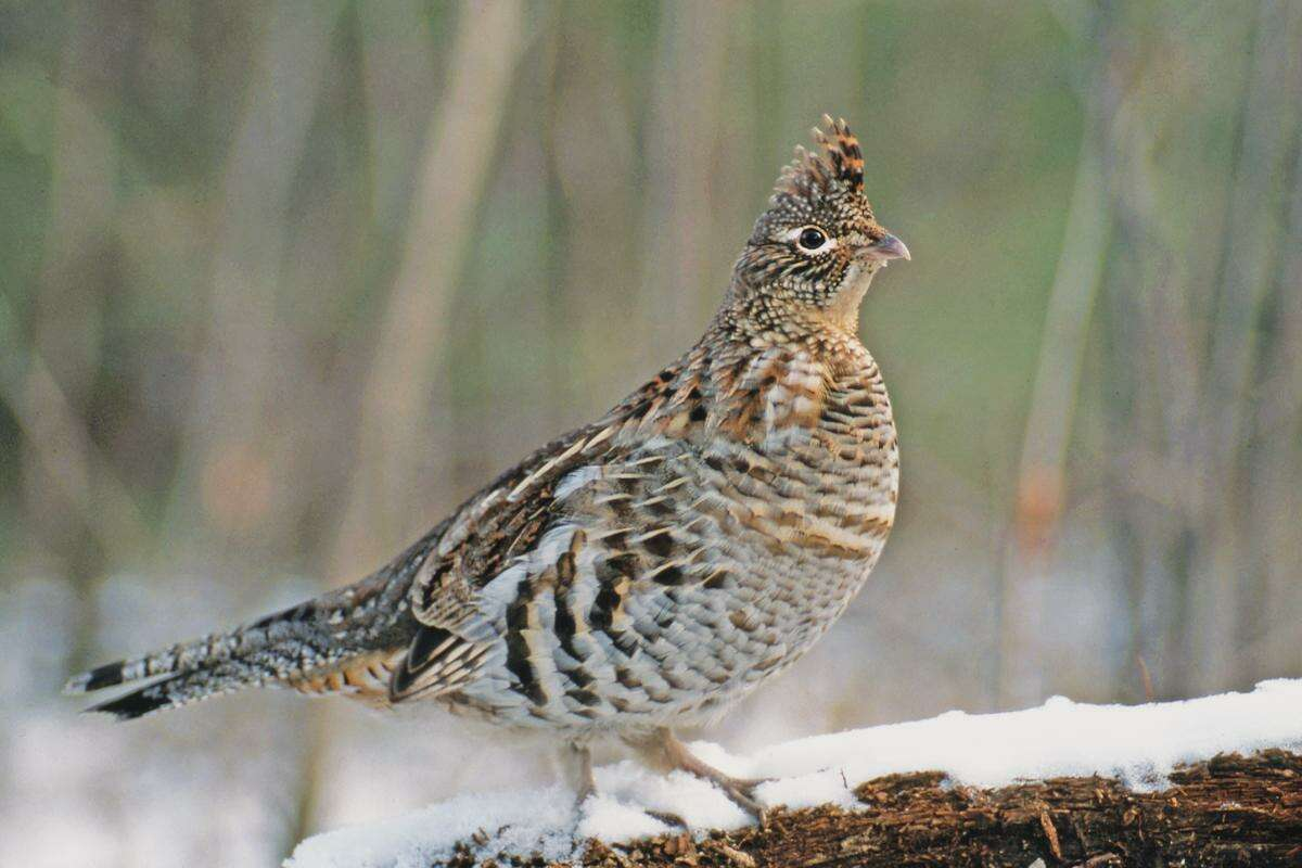 Ruffed grouse populations have declined dramatically in the last 30 years.