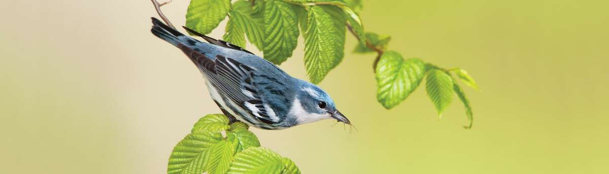 Cerulean warblers breed in scattered locations in New England.