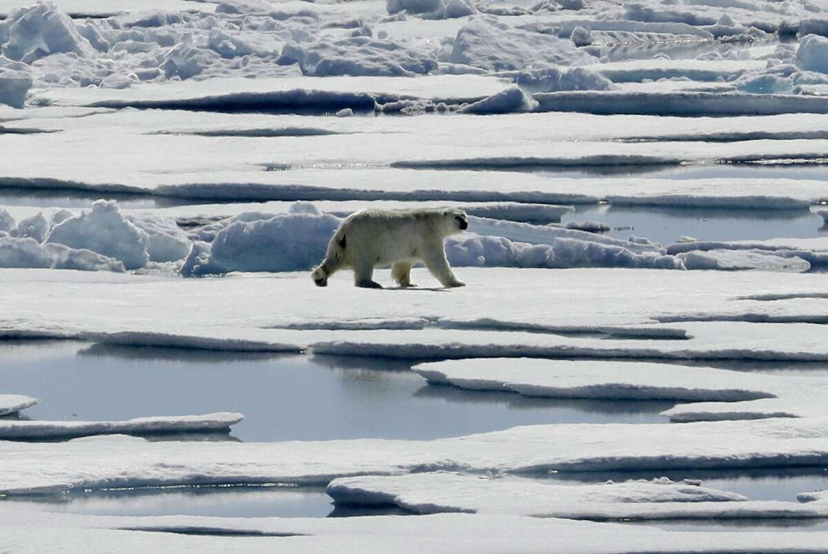 FILE - In this July 21, 2017 fiel photo a polar bear walks over sea ice floating in the Victoria Strait in the Canadian Arctic Archipelago. The COP 23 Fiji UN Climate Change Conference in Bonn, Germany, is scheduled to end Friday, Nov. 17 and aims at producing draft rules for implementing the Paris accord. (AP Photo/David Goldman, file)