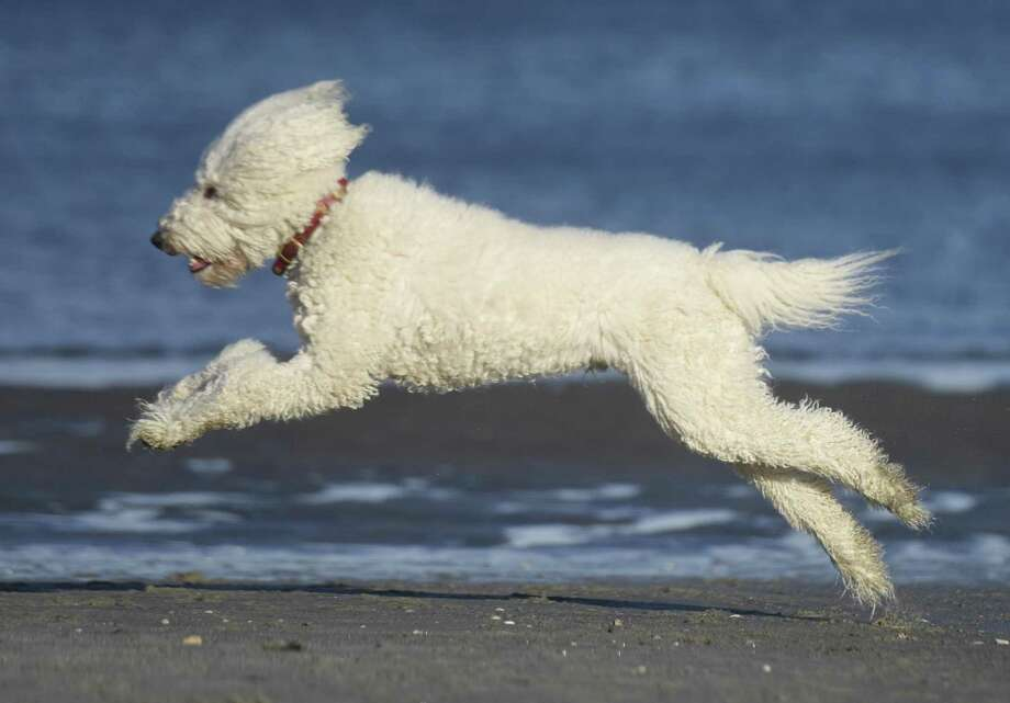 Faux Pas Finch, a standard poddle showdog, runs on the beach at Greenwich Point Park in Old Greenwich, Conn. Thursday, March 9, 2017. Dogs are permitted on the beach at Greenwich Point from Dec. 1 until the end of March. Photo: Tyler Sizemore / Hearst Connecticut Media / Greenwich Time
