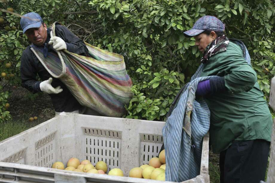 Federico Martinez and his wife, Flor Estela Ibarra fill a crate with grapefruit while picking an orchard in northern Hidalgo County, Monday, Dec. 4, 2017. The orchard is handled by Lone Star Citrus Growers. Photo: Jerry Lara /San Antonio Express-News / © 2017 San Antonio Express-News