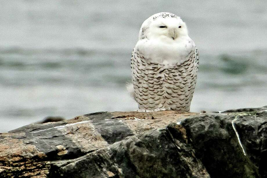 Snowy Owl at Hammonasset in December 2013. Photo: Bill Batsford / Special To The Register