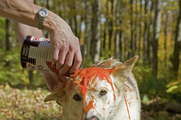 When a dog gets skunked, tomato juice doesn't work to remove the smell. Here's what does: 1 quart of 3 percent hydrogen peroxide, ¼ cup baking soda, 1 teaspoon Liquid Dawn dishwashing soap.
