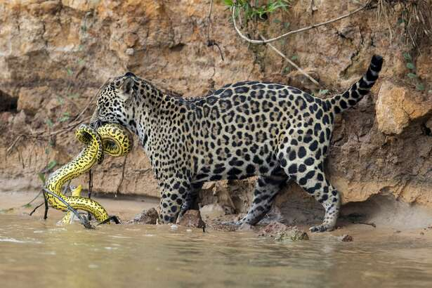 PORTO JOFRE, BRAZIL - SEPTEMBER 29: A jaguar stalks and kills a yellow anaconda on the Cuiaba River in the Pantanal in Mato Grosso, Brazil. The cat spotted the snake resting on the riverbank and chased it into the shallow waters at the river's edge before struggling with it for over two minutes on the morning of the 29th of September, 2017. Anaconda kills by jaguars have only been observed on a handful of occasions and very few photographs of this incredibly rare behaviour are known to exist.  Brunskill has spent a month observing the jaguars of the Brazilian Pantanal and last week his patience was rewarded when a jaguar captured a caiman.  (Photo by Chris Brunskill Ltd/Getty Images)