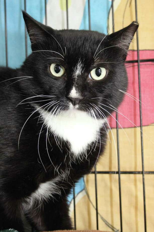 PJ, a pretty tuxedo, wants a new home. Photo: Contributed Photo
