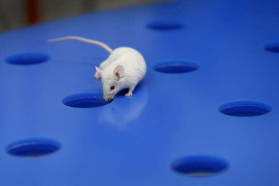 Researchers study a laboratory mouse exploring a Barnes maze during a spatial memory test at Alkahest biotech firm in San Carlos, Calif. on Wednesday, Nov. 22, 2017. Alkahest is doing extensive research on slowing the aging process in humans.