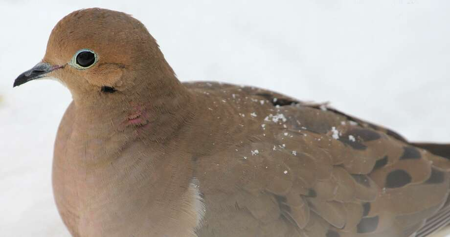 A mourning dove looks for seeds on the ground last winter. Photo: Chris Bosak / Hearst Connecticut Media / The News-Times