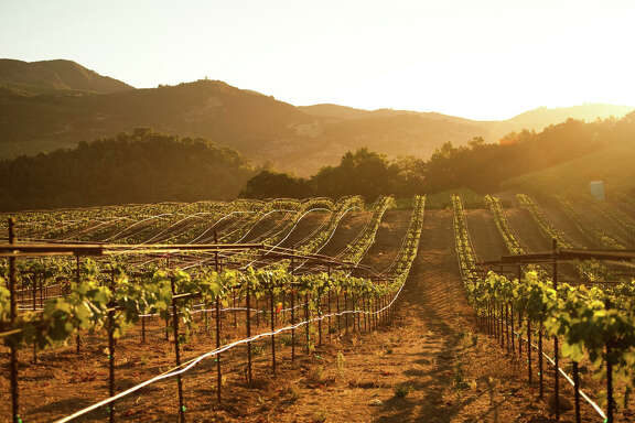 Rows of vineyard vines at sunrise in Sonoma County, California.