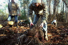 Brian Curtis props up a hog while hunting feral hog in Newton County on Thursday. Bruce Perdue and Tito a 2 year-old dogo argentino are also pictured. Photo taken Thursday, February 17, 2017 Guiseppe Barranco/The Enterprise