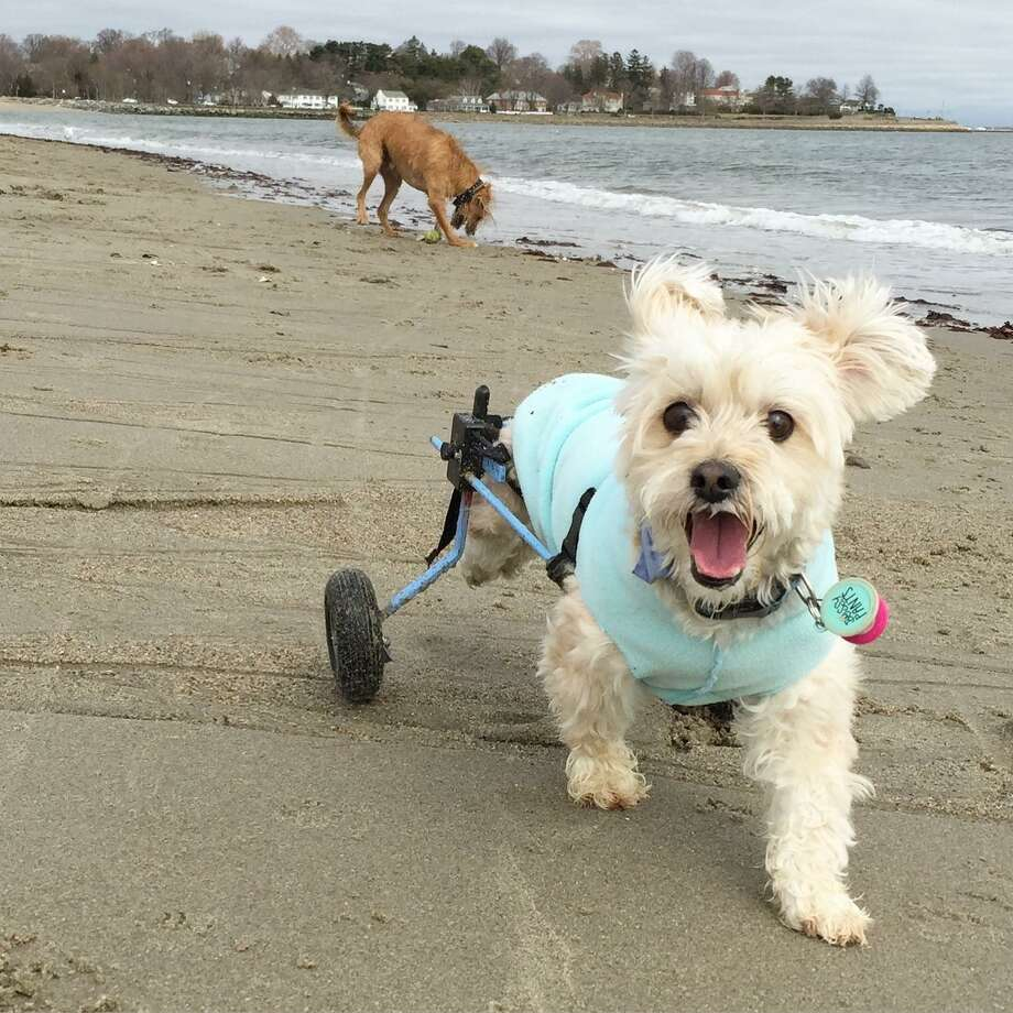 Instagram star Albert, a member of Jill Lawson's family, plays on the sand on Jennings Beach. Photo: Contributed Photo / Fairfield Citizen